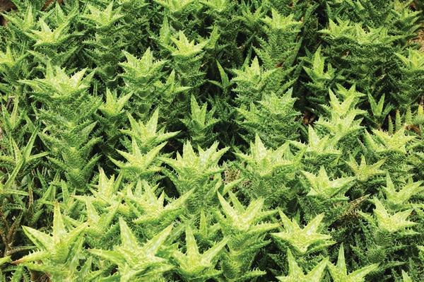 Aloe vera. Photo: Shutterstock
